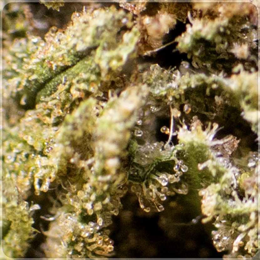 harlequin cannabis light